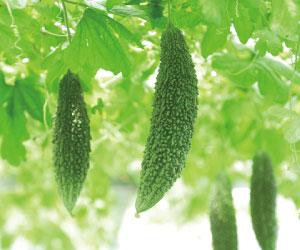 (伝統野菜研究会)-募集-ゴーヤーの美味しい食べ方&あぶら味噌づくり